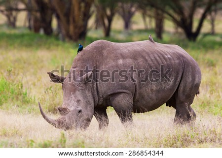 White rhinoceros or square-lipped rhinoceros (Ceratotherium simum) in Lake Nakuru National Park, Kenya. The white rhinoceros is one of the five species of rhinoceros that still exist. - stock photo