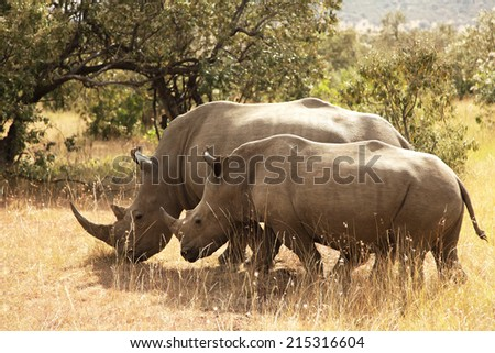 White Rhinoceros or Square-lipped rhinoceros (Ceratotherium simum) near the Masai Mara National Reserve southwestern Kenya. - stock photo