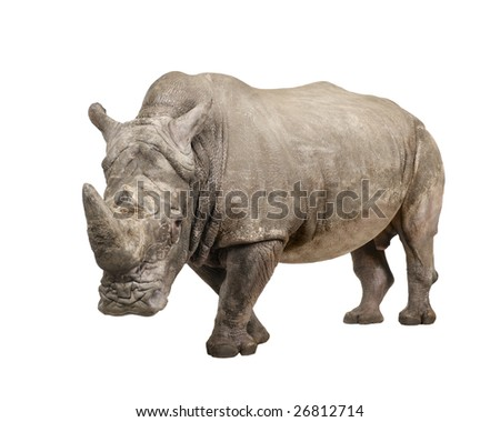 White Rhinoceros or Square-lipped rhinoceros - Ceratotherium simum ( +/- 10 years) in front of a white background