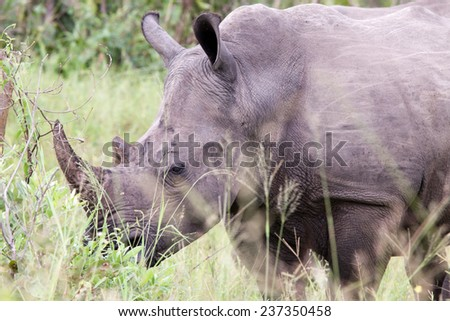 White rhinoceros. South Africa, Kruger National Park. - stock photo