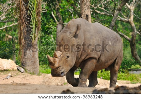 white rhinoceros,Thailand - stock photo