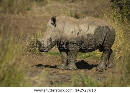 White rhinoceros young - stock photo