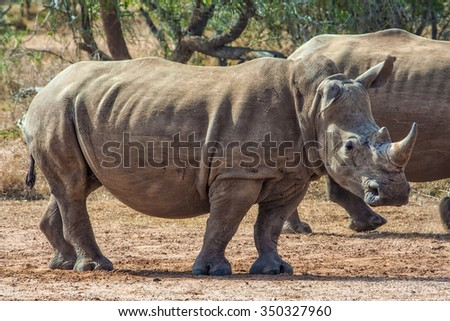 White rhinoceroses or square-lipped rhinoceroses (Ceratotherium simum) in Hlane Royal National Park, Swaziland. The white rhinoceros is one of the five species of rhinoceros that still exist.