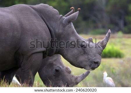 White Rhinos grazing while egret birds hunt next to them - stock photo