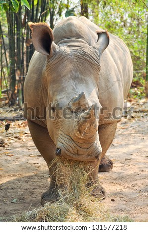 White rhinos live on Africa's grassy plains, where they sometimes gather in groups of as many as a dozen individuals. - stock photo