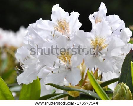 White Rhododendron - stock photo