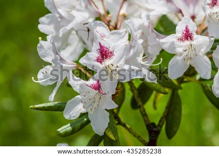 White Rhododendron flower  - stock photo