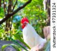 White Rooster - stock photo