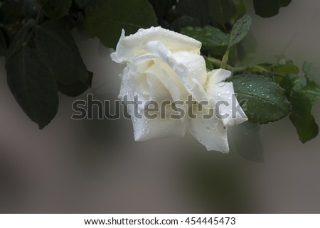 white rose a soft background , close up