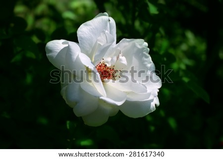 white rose briar blooming, outdoor close up  on a dark green background of a garden - stock photo