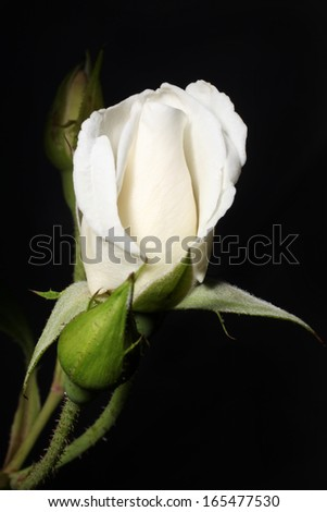 White rose bud on a black background. New rose buds. - stock photo