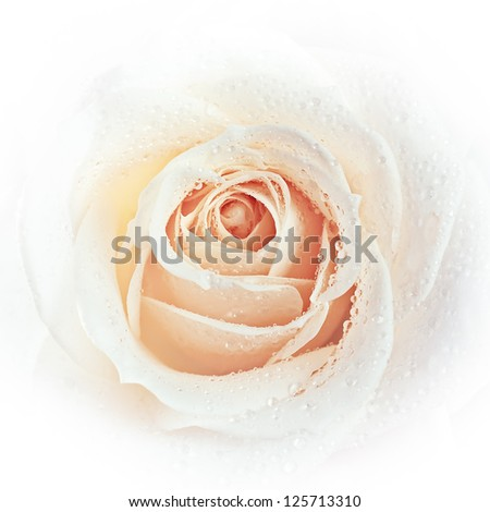 White rose close-up with dew drops - stock photo