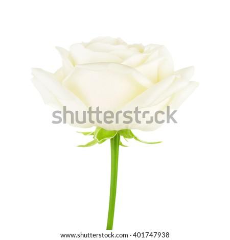 White Rose Flower - stock photo