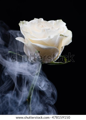 White rose flower isolated on black background with smoke