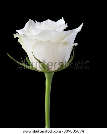 White rose flower on a black background - stock photo