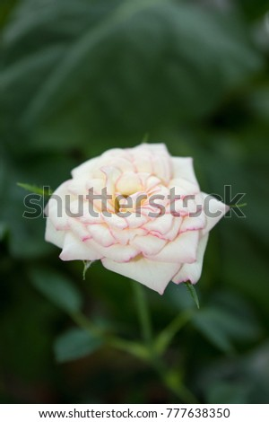 White rose flower pink edges on stock photo royalty free 777638350 white rose flower with pink edges on petals blooming on window sill gorgeous ornamental indoor mightylinksfo