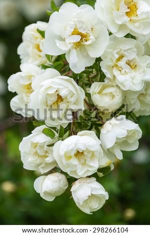 White rose flowers of rosehips bush in the summer garden - stock photo