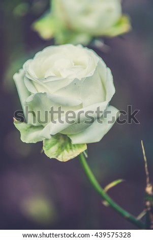 White rose flowers with buds in garden (Vintage filter effect used) - stock photo