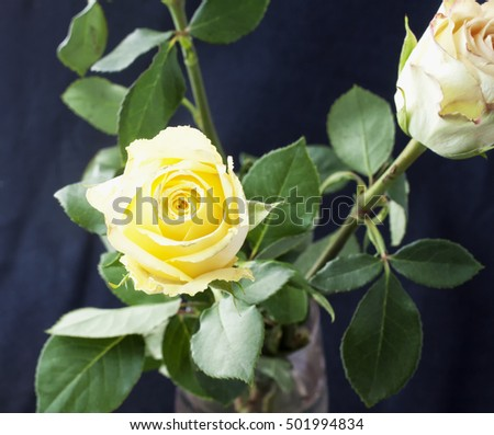 White rose in a vase, black background, square image