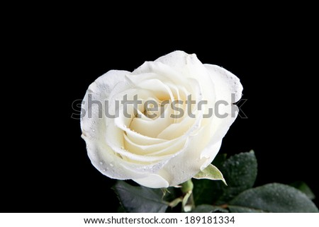 White rose in black background