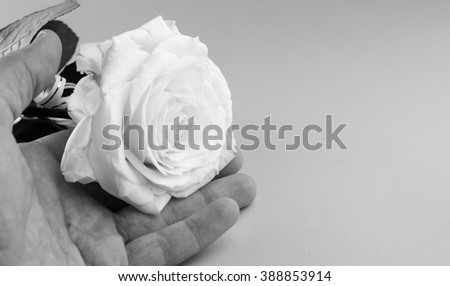 white rose in his hand,black and white background - stock photo
