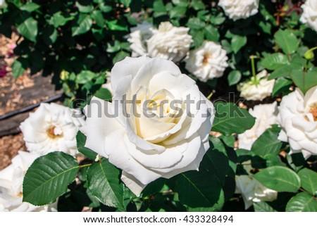 White rose in the garden,gentle caressing rose flower under spring sun .  - stock photo