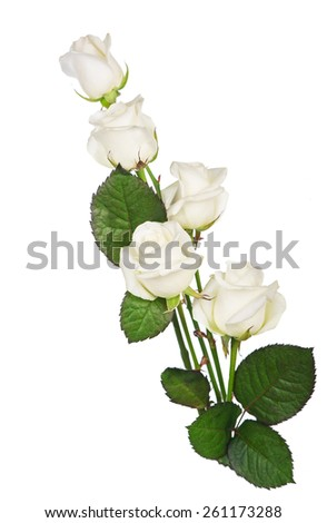 white rose. isolated - stock photo