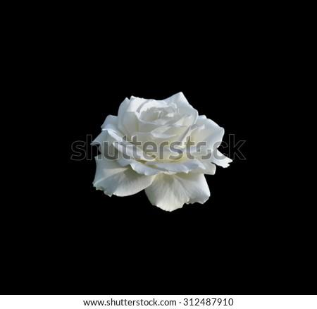 White rose isolated on black background - stock photo