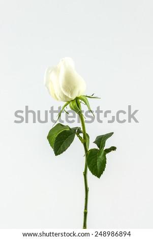 White rose isolated on white background. - stock photo