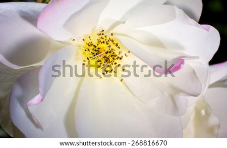 White rose macro close-up with a hint of pink. - stock photo