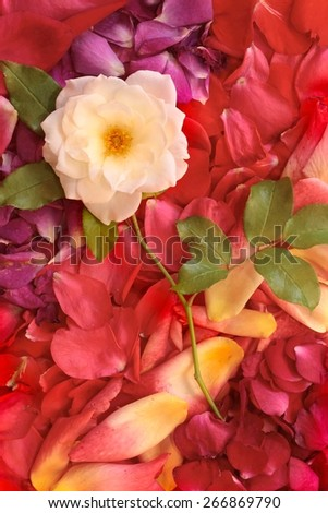 White rose on a background of multicolored rose petals. - stock photo