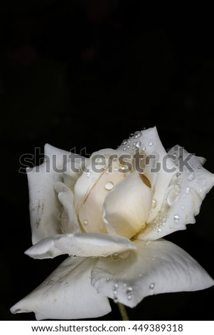 white rose on a black background in rain droplets