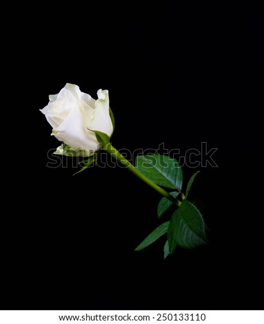 White rose on black - stock photo