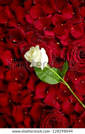 White Rose on Red Rose Petals. Valentine's Day Theme. Roses Background. Flowers Photo Collection. - stock photo