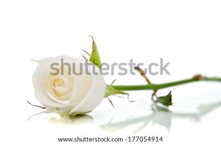 white rose on the white - stock photo