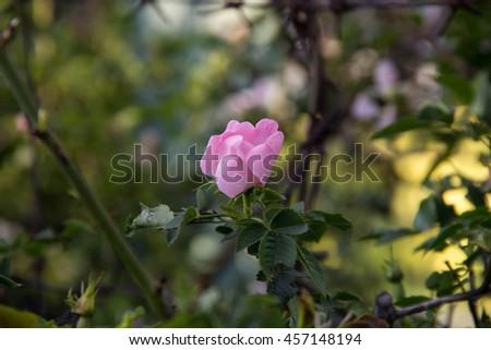 White Rose Wild rose flower aka Rosa acicularis or prickly wild rose or prickly rose or bristly rose or Arctic rose or Rosa canina flower - stock photo