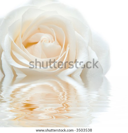 white rose with reflection in the water, isolated on white - stock photo