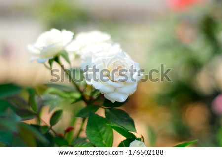 White roses are a symbol of love and altruism. - stock photo