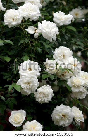 White roses in bloom. - stock photo