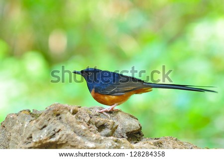 White-Rumped Shama bird, male