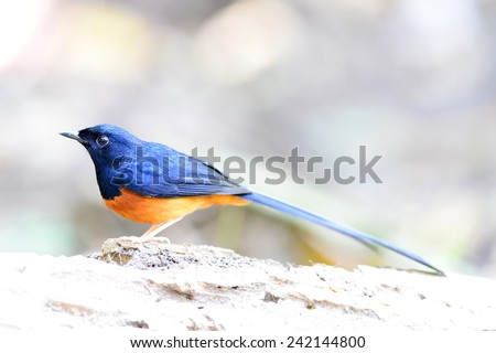 White-rumped Shama (Copsychus malabaricus) on a branch - stock photo