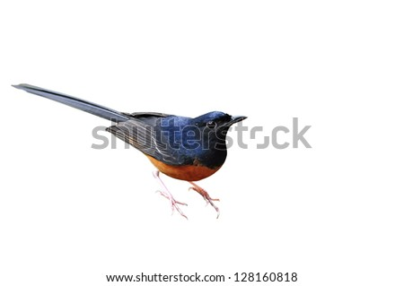 White-Rumped Shama on the white background - stock photo