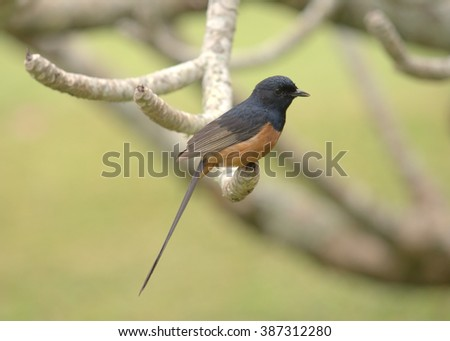 White-rumped Shama Thrush (Copsychus malabaricus) is a songbird species introduced to the Hawaiian Islands from southern Asia and India.  It has a wonderful song and can often be easily approached  - stock photo