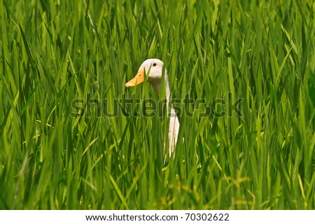 White runner duck in a green paddy field