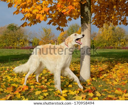 White russian wolfhound standing on yellow autumn leaves - stock photo