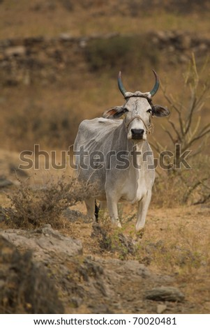 White sacred cow in India