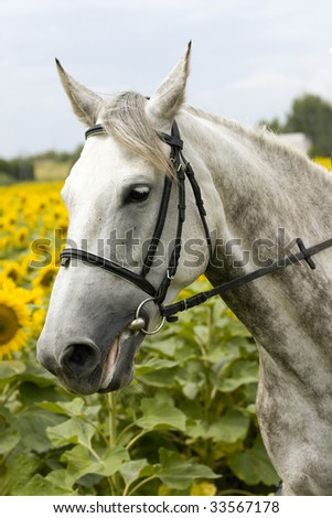White sad horse in sunflower field