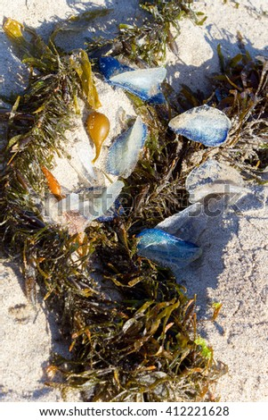 White Sails of Velella velella stranded on ocean beach along with Brown Kelp seaweed - stock photo