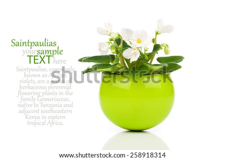 white Saintpaulia flowers in green flowerpot  on white background - stock photo
