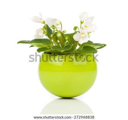 white Saintpaulia flowers in green flowerpot on white background - stock photo